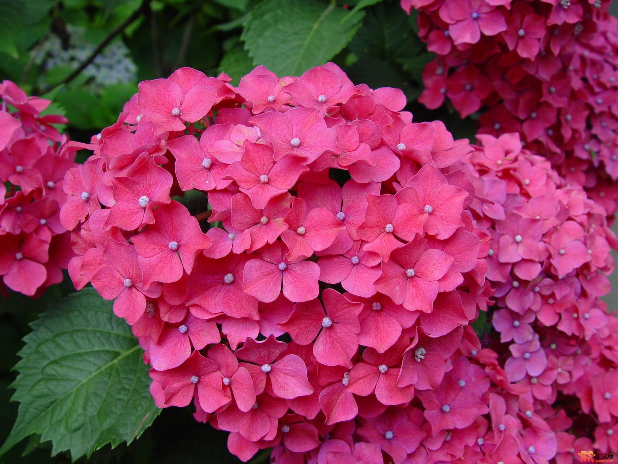 绣球花的养殖方法和注意事项绣球花因为花的外形和古代绣球比较的相似
