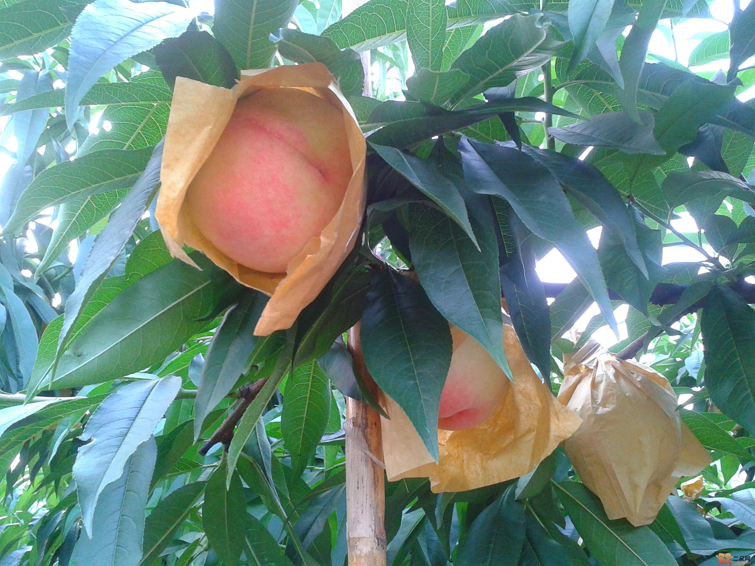 多么可爱的水蜜桃