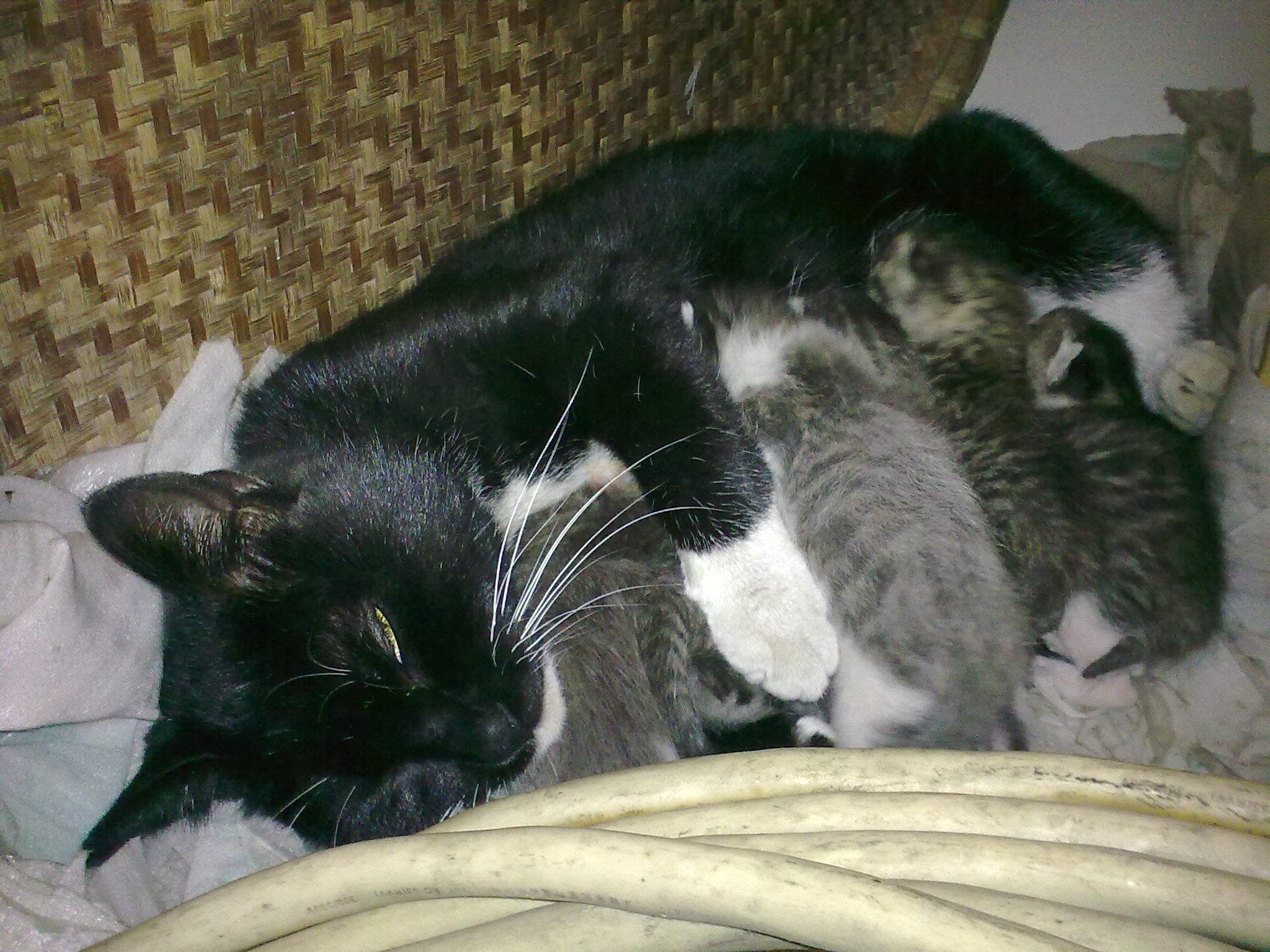2010-3-18 偶家的黑猫警长生了7只可爱的小猫猫!现在小猫猫预定中.