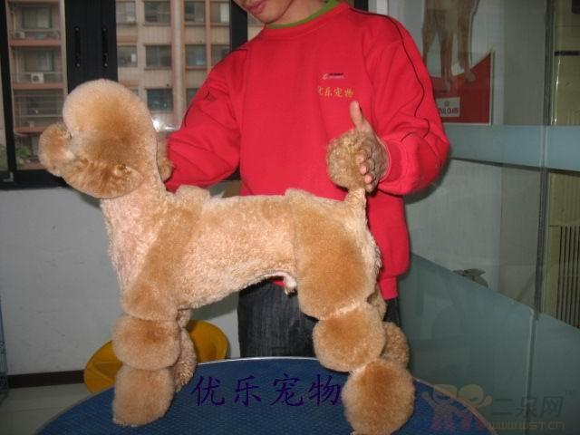 巧克力泰迪犬造型 巧克力泰迪犬修毛造型 巧克力泰迪造型-泰迪犬修毛